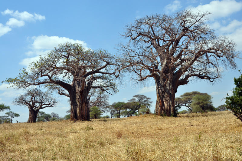 Savana landscape with baobabs stock image
