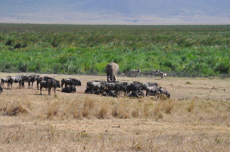 Savana landscape with wild animals royalty free stock photo
