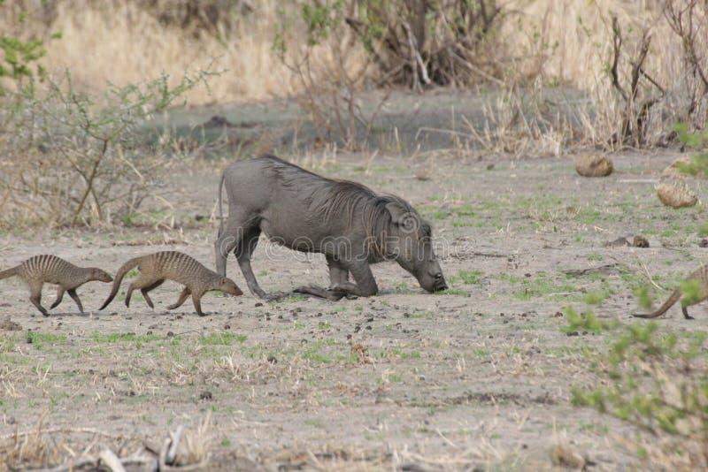 Savana pericolosa Kenya dell'Africa del mammifero del maiale selvaggio di facocero immagini stock libere da diritti