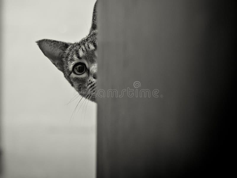 Savanah cat peeking around corner royalty free stock images