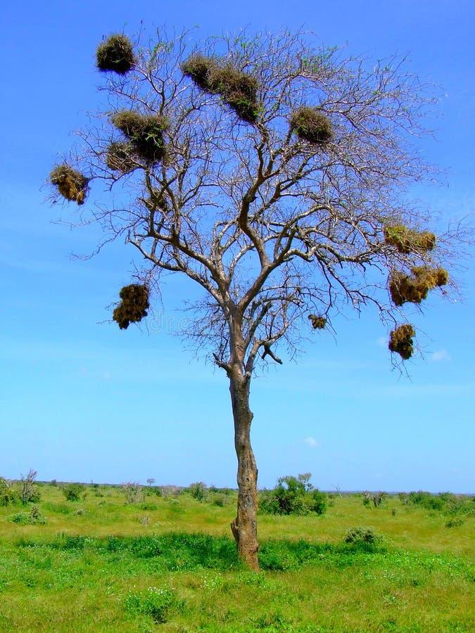 Savanas Baum stockbilder