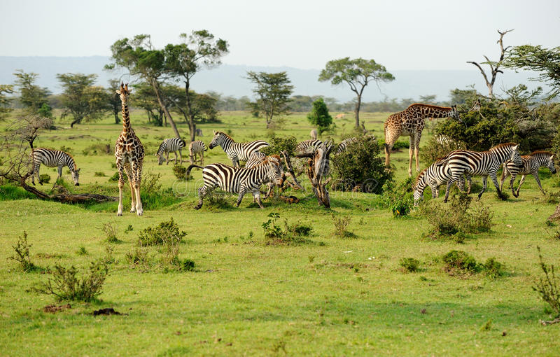 Download Savanna stock image. Image of africa, mara, camelopardalis - 20354791