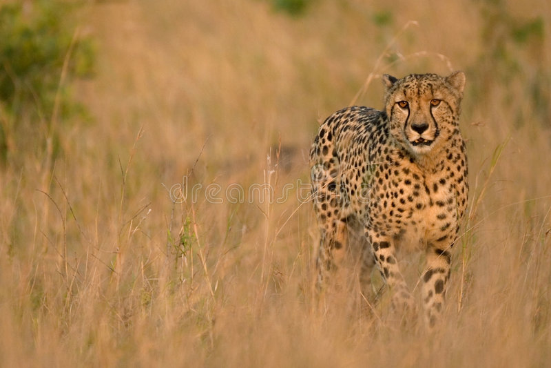Savanna cheetah. Cheetah on savanna walking thruogh the long grass royalty free stock photo