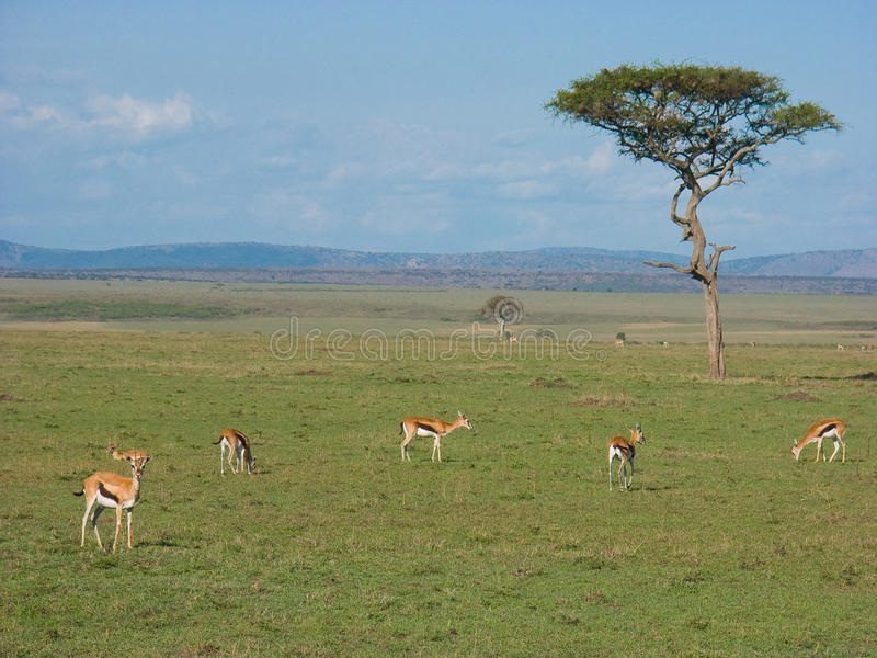 Savanna com gazelles foto de stock royalty free