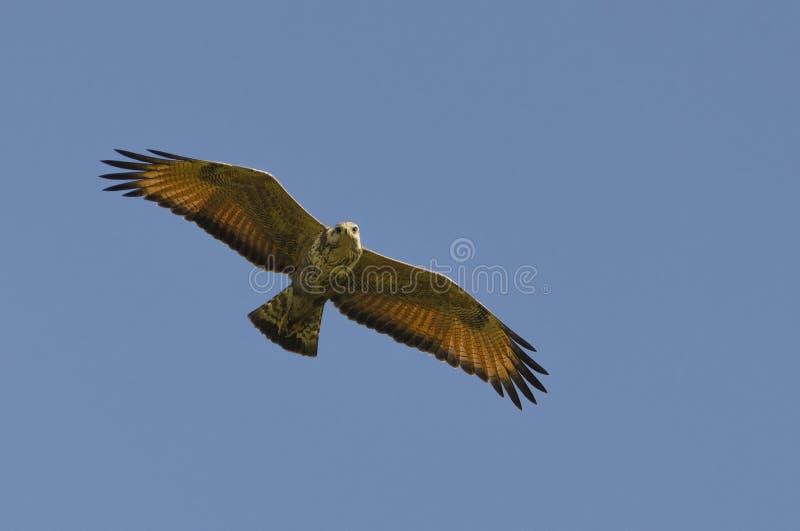 Savanna Hawk Hunting nel Sun di mezzogiorno immagine stock libera da diritti