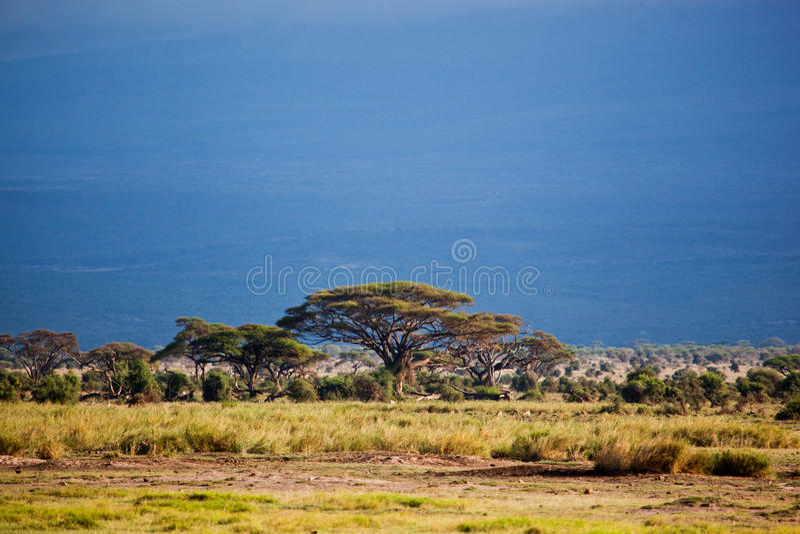 Savanna landscape in Africa, Amboseli, Kenya stock photos