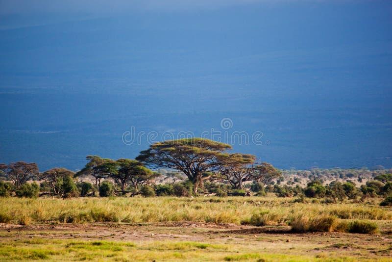 Savannaen landskap i Afrika, Amboseli, Kenya arkivfoton