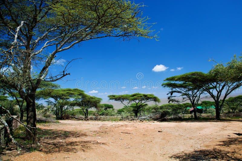 Savannaen landskap i Afrika, Serengeti, Tanzania royaltyfri foto