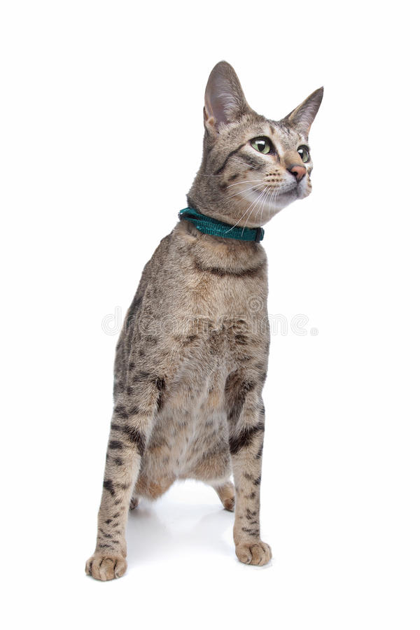 Savannah cat. In front of a white background royalty free stock photography