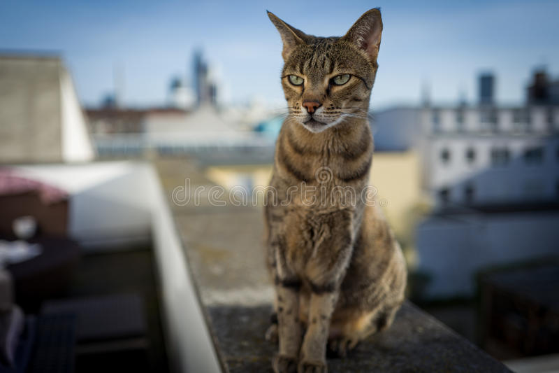 Savannah Cat avec l'horizon de Francfort photos libres de droits
