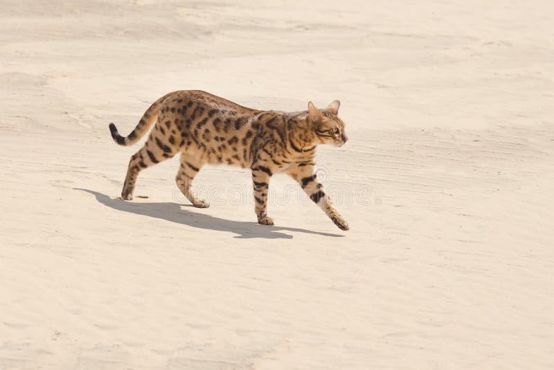 Savannah cat in desert. Savannah wild cat walking and hunting in desert stock image