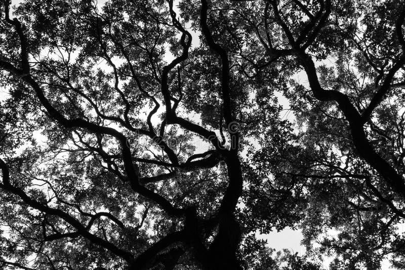 Savannah Georgia Live Oak royaltyfri bild
