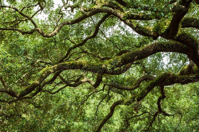 Savannah Georgia Live Oak stock images