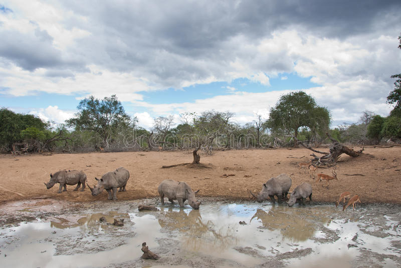 Savannah idyll. Magical moment in savannah - five rhinos by the waterhole royalty free stock images