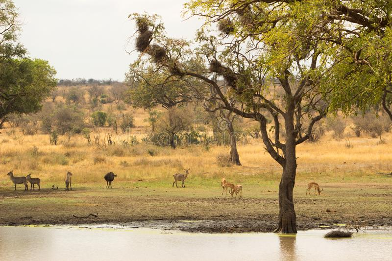 Savannah. Landscape of the Savannah in Southafrica with some antelopes stock photo