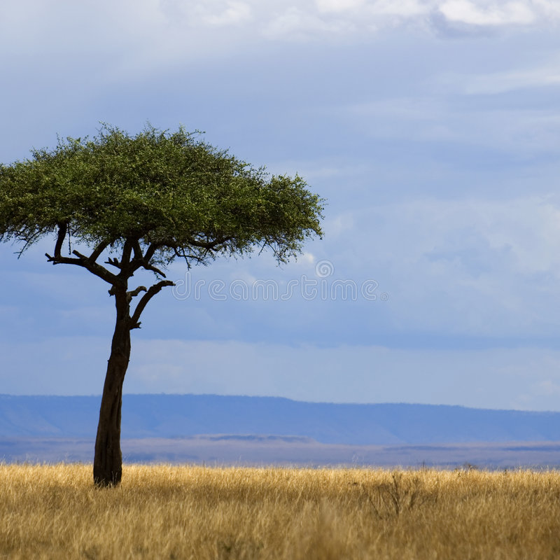 Savannah Masai mara. View of a tree in the middle of a plain in the natural reserve of masai mara royalty free stock photography