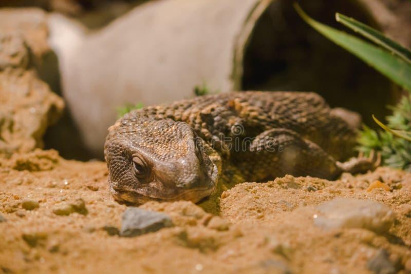 Savannah Monitor nella cabina dello zoo ha esibito immagine stock libera da diritti