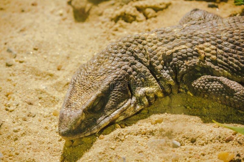 Savannah Monitor nella cabina dello zoo ha esibito immagini stock libere da diritti