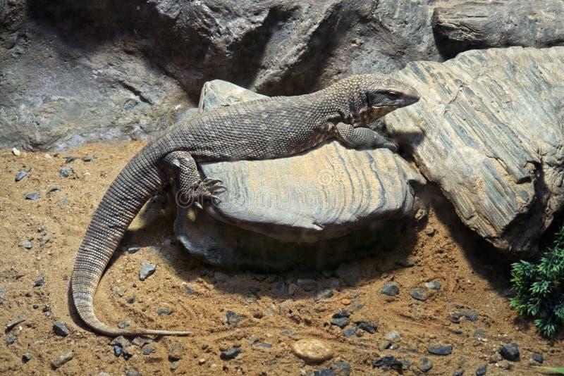 Savannah Monitor på stenen med sand royaltyfri bild
