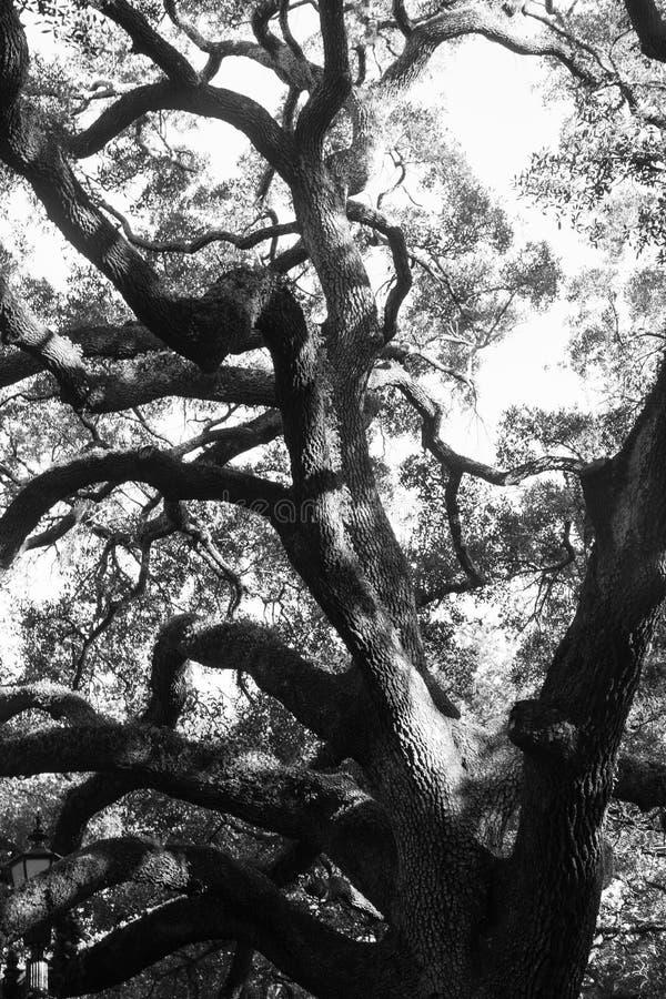 Savannah Oak Tree. A beautiful old oak tree in Savannah, Georgia; black and white image; vertical image royalty free stock photo