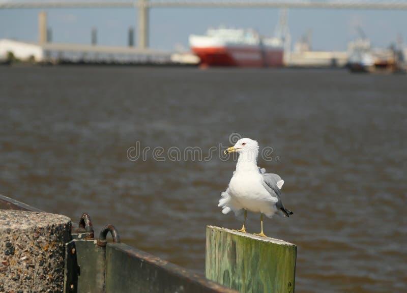 Savannah Seagull fotografering för bildbyråer