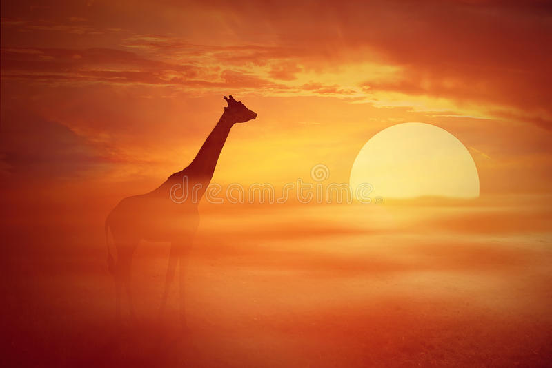 Savannah. Silhouette of a lonely giraffe against a foggy, orange sunset. African savannah wild life landscape scene screen saver royalty free stock images