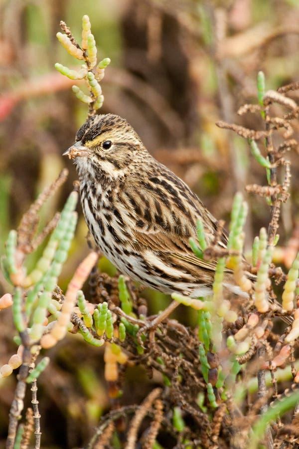 Download Savannah Sparrow Royalty Free Stock Photography - Image: 17605617