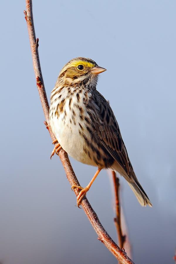 Savannah Sparrow stock image