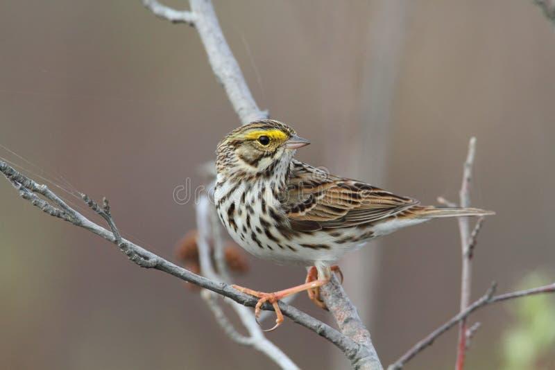 Savannah Sparrow stock images