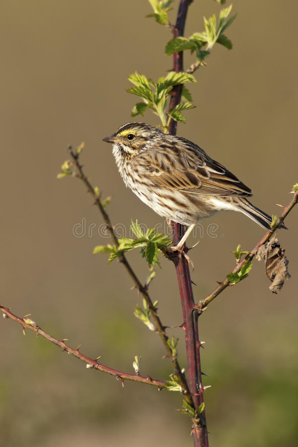 Download Savannah Sparrow stock image. Image of wild, nature, fauna - 24362959