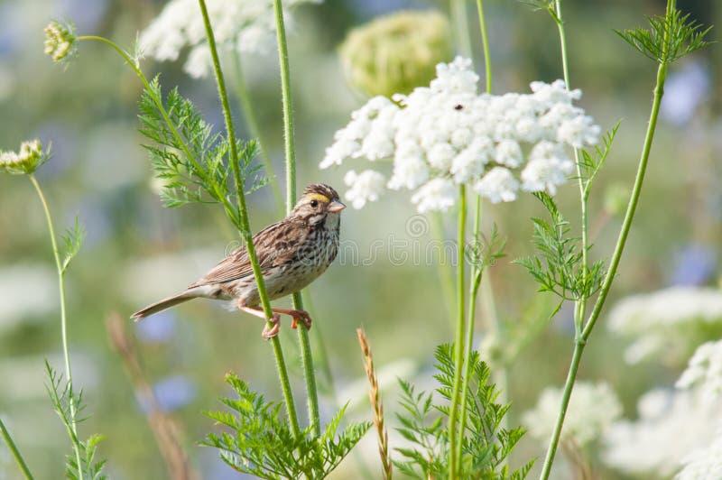 Savannah Sparrow royaltyfria foton