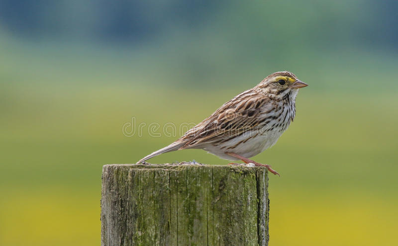 Savannah Sparrow image libre de droits