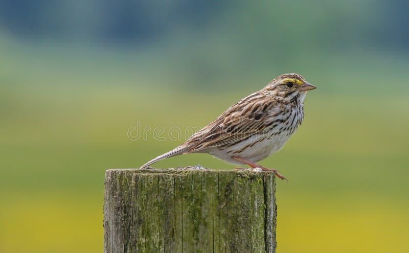 Savannah Sparrow imagem de stock royalty free