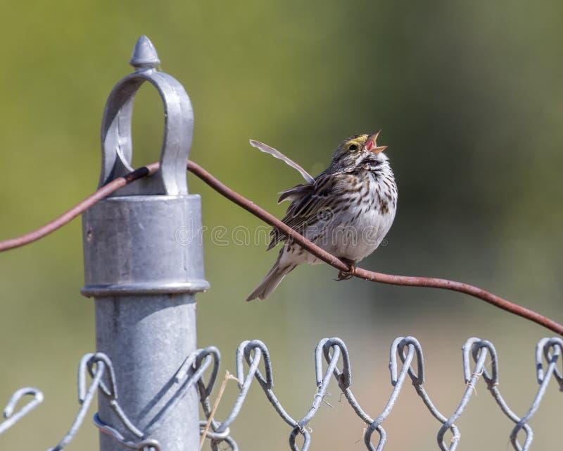 Savannah Sparrow in Alaska royalty free stock photo