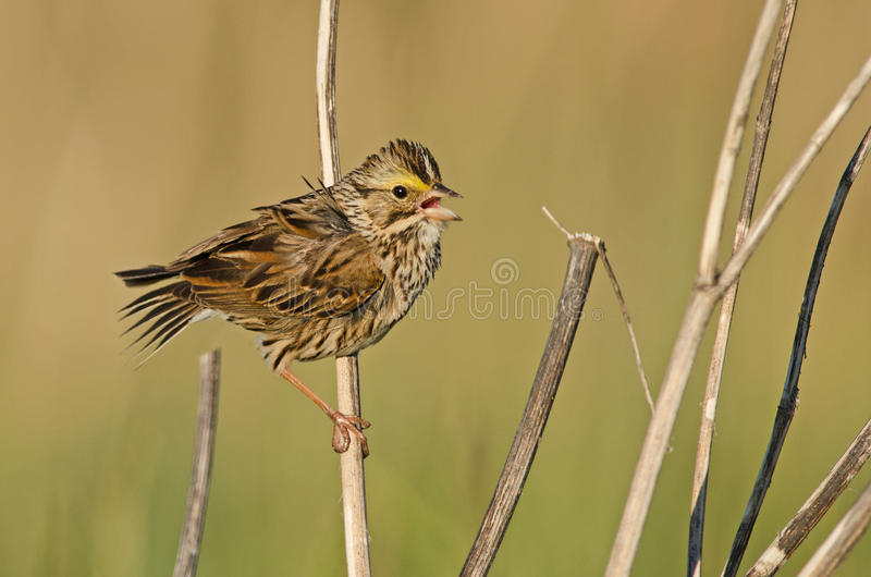 Savannah sparrow. Chirping in a marsh in Carleton-sur-Mer (Quebec, Canada) in July of 2014 stock photo