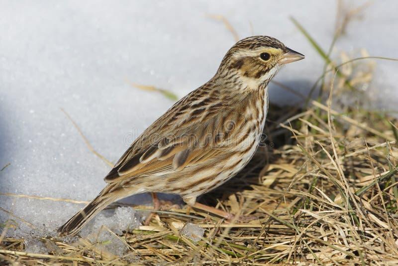 Savannah Sparrow dans la neige image libre de droits