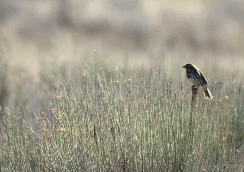 Savannah Sparrow i fälten fotografering för bildbyråer