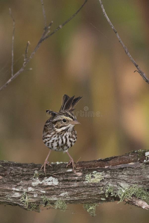 Savannah Sparrow, la Florida fotos de archivo libres de regalías