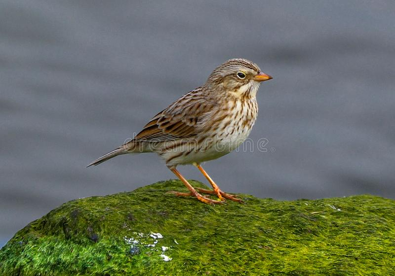 Savannah Sparrow old world bird. The small sparrow is  occasionally seen on the rocks or shorelines  The species it belongs to is Passerculus.  The bird is seen stock photography