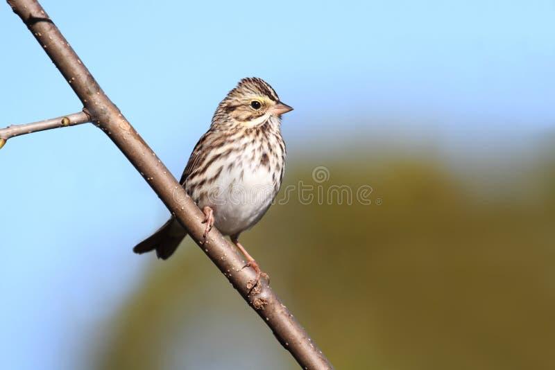 Savannah Sparrow (Passerculus sandwichensis) fotografering för bildbyråer