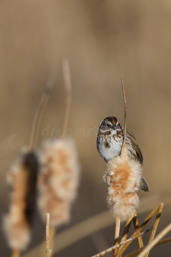 Download Savannah Sparrow, Sandwichensis Di Passerculus Fotografia Stock - Immagine di brown, wetland: 30826884