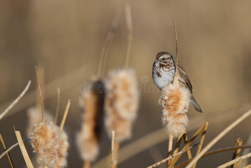 Savannah Sparrow, sandwichensis di Passerculus fotografia stock libera da diritti