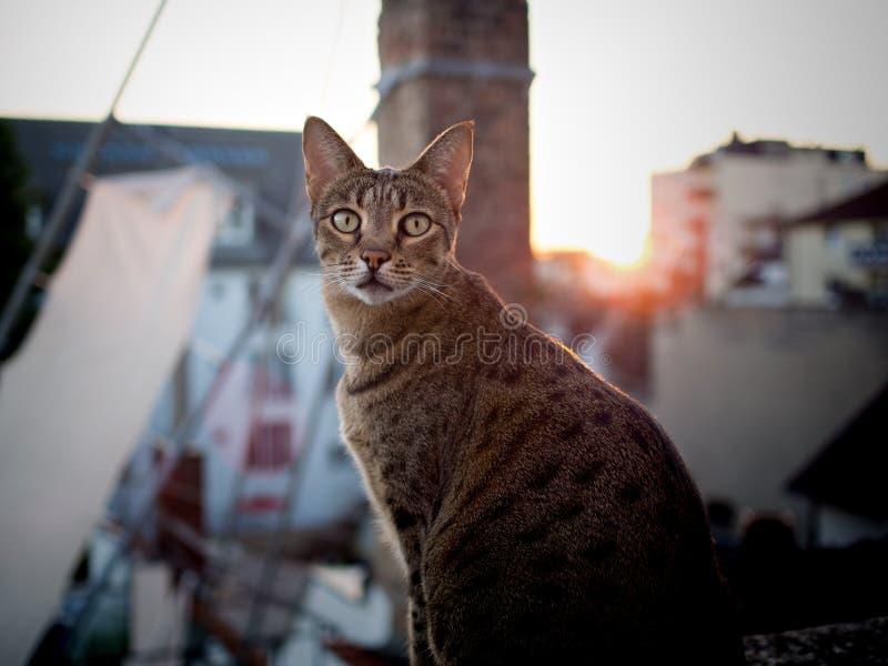Savannahcat en la puesta del sol que mira la cámara foto de archivo