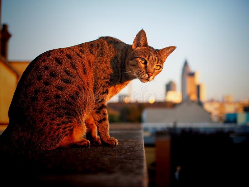 Savannahkatt och Frankfurt horisont i bakgrund royaltyfria foton