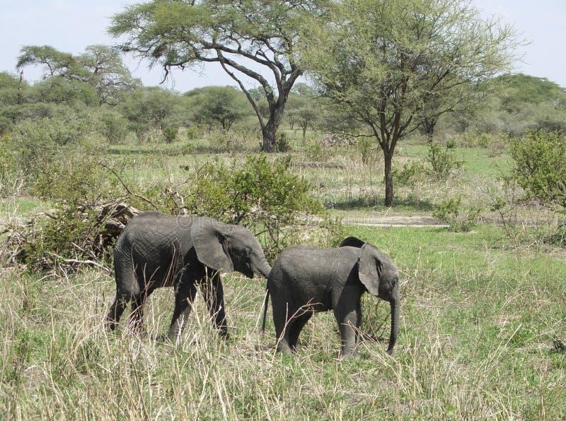 Savanne met twee jonge Olifanten royalty-vrije stock foto's