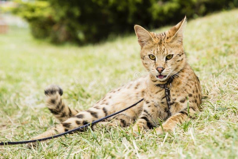 Savannekat royalty-vrije stock afbeeldingen