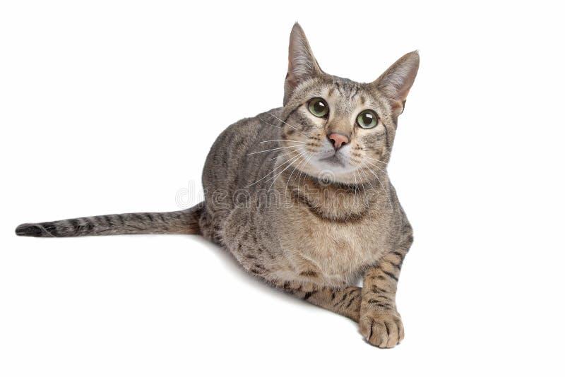 Savannekatze lizenzfreies stockfoto