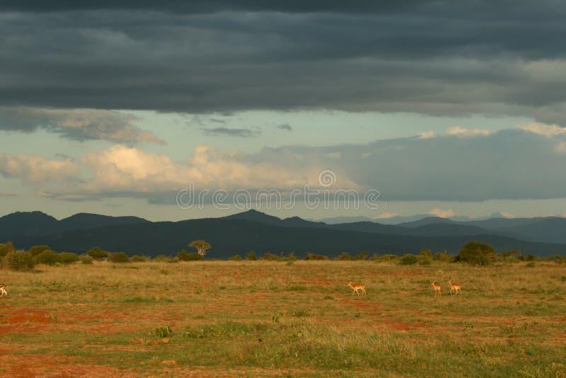 Savannelandschaft mit Impala lizenzfreies stockbild