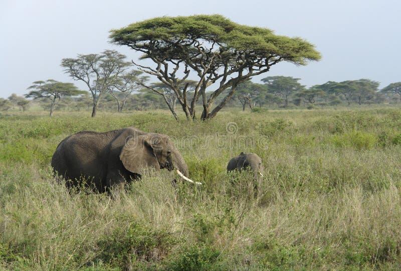 Savannelandschap met twee Olifanten in hoog gras stock afbeeldingen