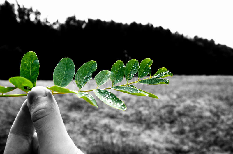 Save the green. Hand holding fresh green leafs with glittering drops after rain. Save the environment stock images